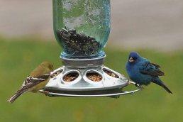 Female-goldfinch-and-indigo-bunting