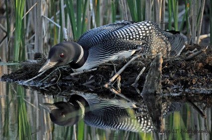 Common Loon reflected on water