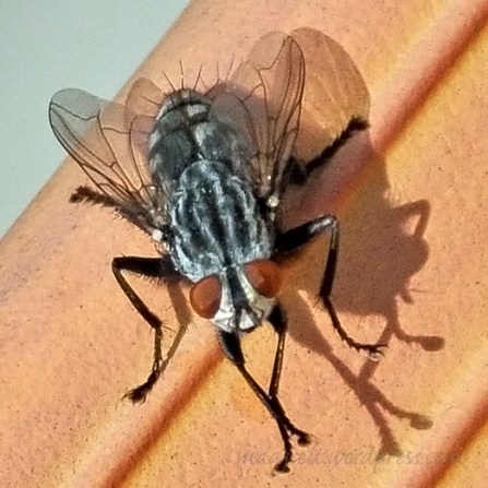 Pretty wings, ugly fly.