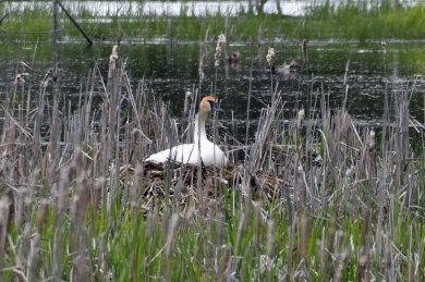 Trumpeter Swans15