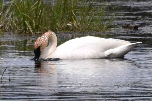 Trumpeter Swans22