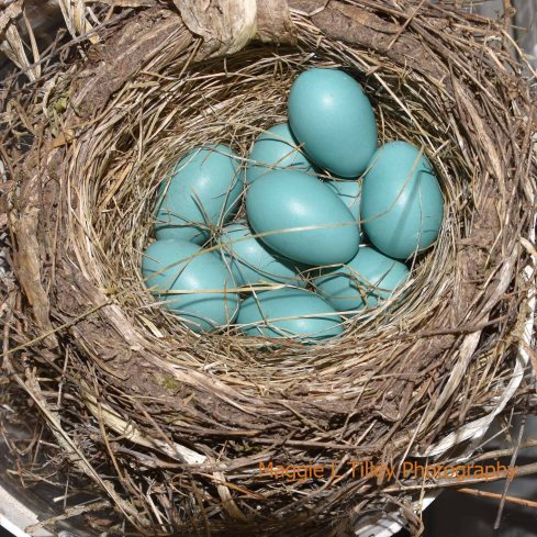 At least 10 eggs in the nest