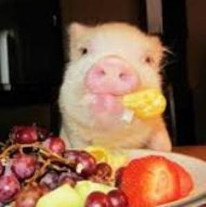 cheese pig