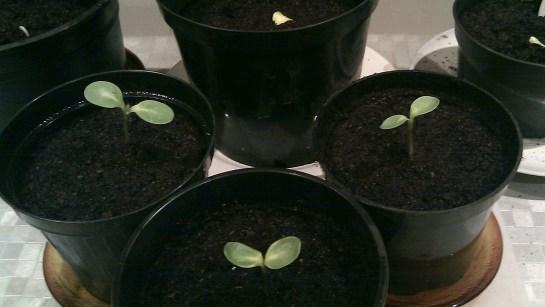 3 sunflower seedlings