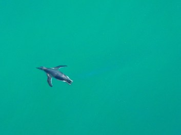 Penguin swimming in the waters at Puerto Madryn