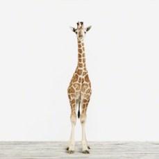 Baby Giraffe_3_Baby Animal Photography Prints