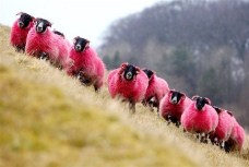 pinksheep.jpg.pagespeed.ce.XhQAMuwr98