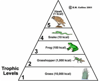 Image result for food chain pyramid