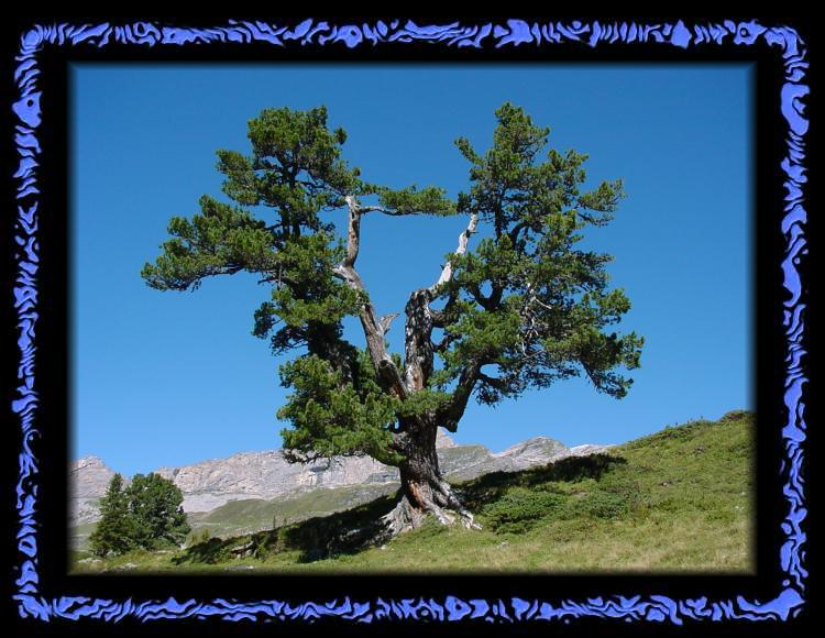 Gnarled tree on the Engstlenalp