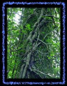 Efeu bewachsene Bäume in der Ermitage