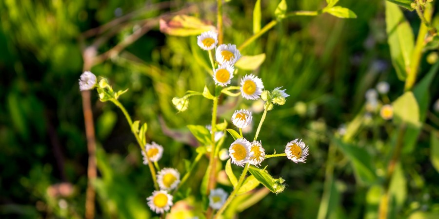 how to grow chamomile, uses for chamomile