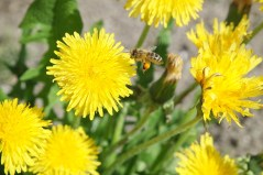 dandelion, bee food, edible flowers, medicinal uses dandelion,