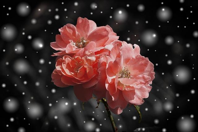 rose-572757_640