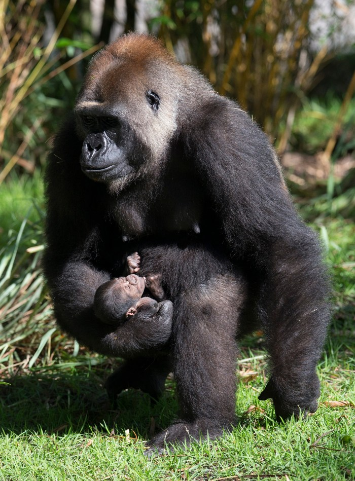 Born Aug. 7, 2014 to mother Azizi and father Gino, a healthy male infant gorilla has already become an integral part of his family group. The new baby, which is yet to be named, is the fourth gorilla born at Disney's Animal Kingdom. Photo by Disney