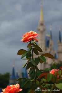 mk rose garden 1