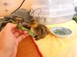 Duckling #1 pecks at dandelion greens