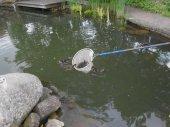 ducklings on pond net