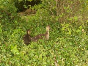ducklings on hillock