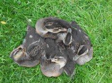 Duck montage