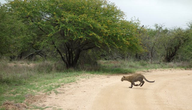 Leopard cub sprinting across the road