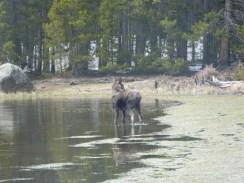 Rocky Mountain National Park_Bierstadt Lake_baby elk_18