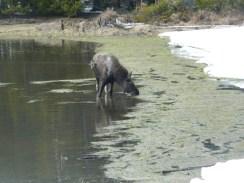 Rocky Mountain National Park_Bierstadt Lake_baby elk_4
