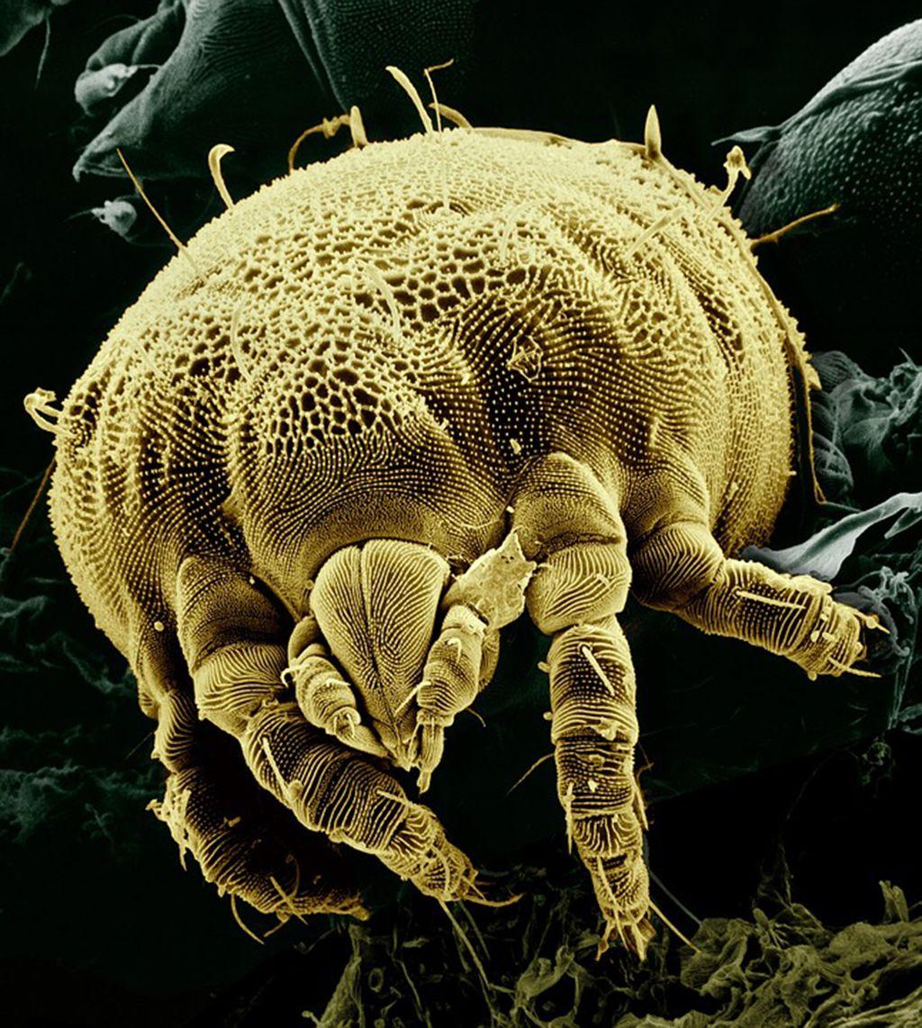 Acaros Que Son Caracteristicas Habitat Tipos Y Mas