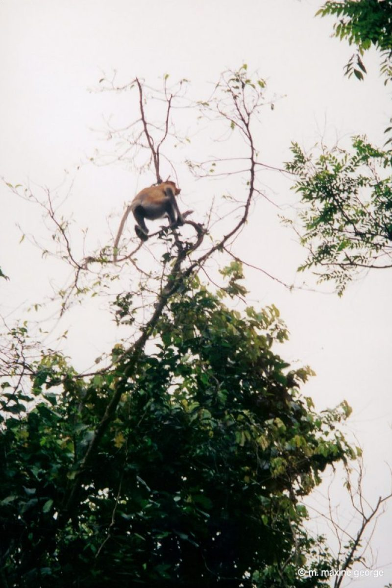 Proboscis monkeys scamper through the trees in the jungle