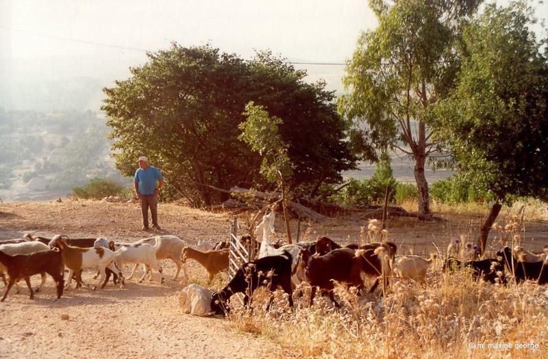 Goat herd appear in early morning mist in Israel