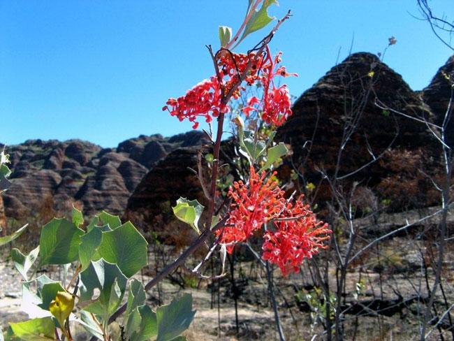 "Wildflowers were in abundance in the ""Bungle Bungles"""