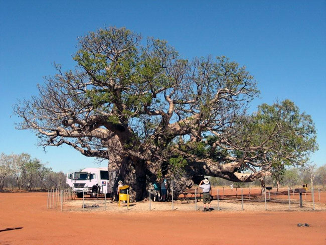 This boab tree had grown hollow inside and was large enough to hold six people.