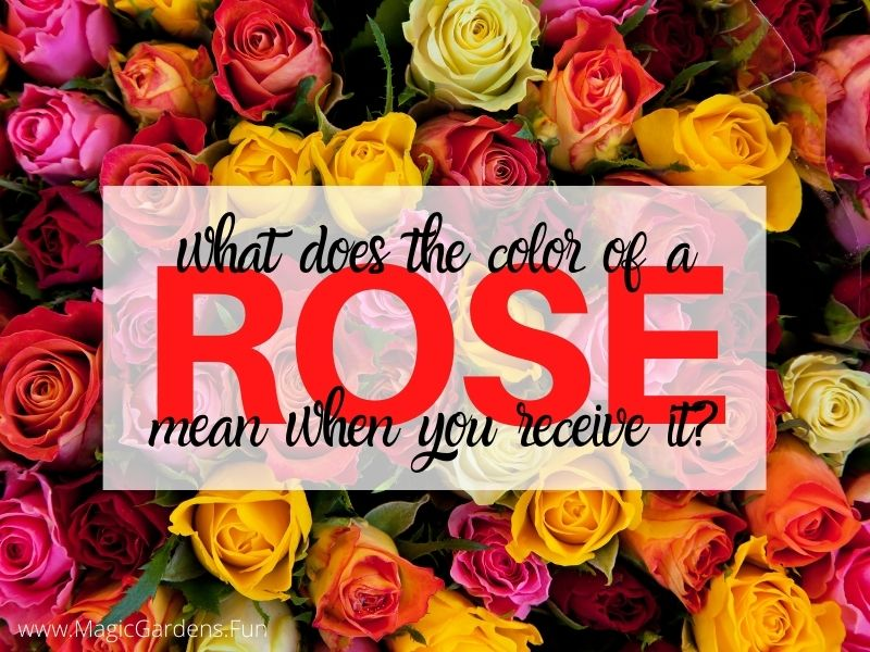 all color roses surrounding the words what does the color of a rose what you received mean
