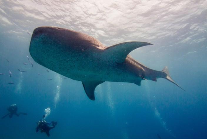 Whale sharks and sardines