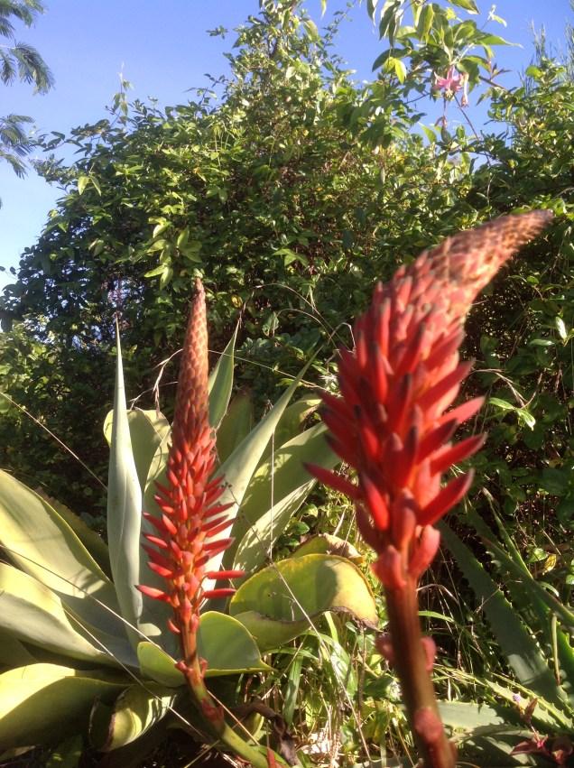 Aloes - W Magicznej Oazie - jesien