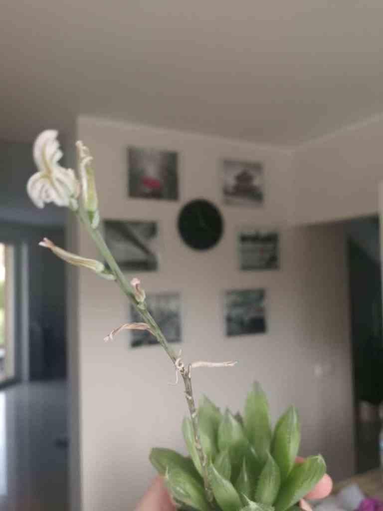 Haworsja cooperi - kwitnący kwiat