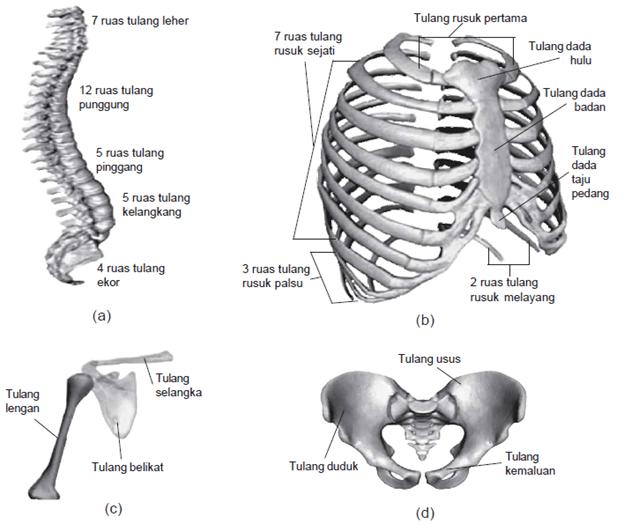 Gambar Rangka badan: meliputi (a) tulang belakang, (b) tulang rusuk dan tulang dada, (c) tulang gelang bahu, serta (d) tulang gelang panggul.