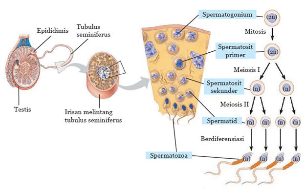 Proses pembentukan sperma disebut dengan spermatogenesis