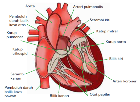 Gambar Bagian-bagian Jantung manusia