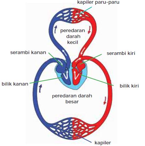 Gambar Skema Organ Peredaran darah manusia