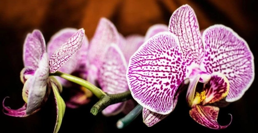 Jenis Bunga Anggrek Yang Hidup Di Indonesia