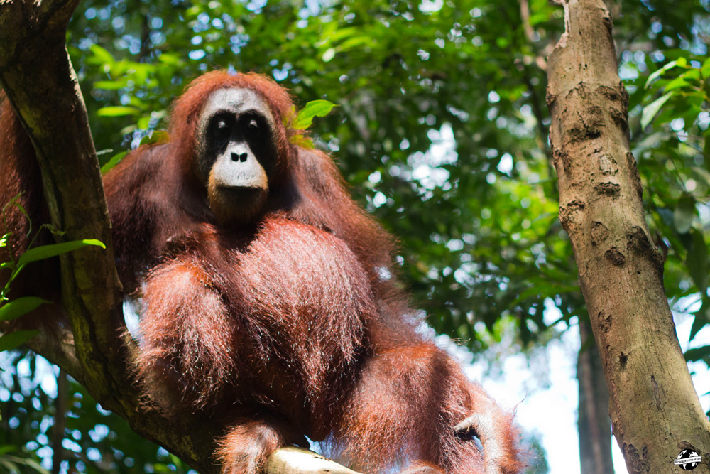 sumatra bukit lawang orang outan