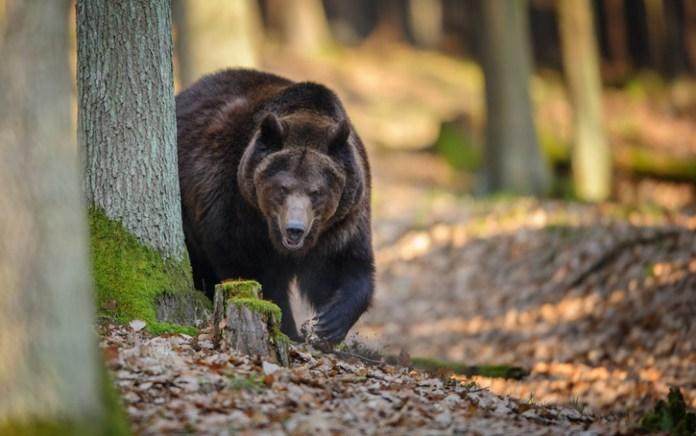 Az erdész lábát tépte szét egy medve