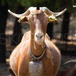Goat Skopelos TV 2