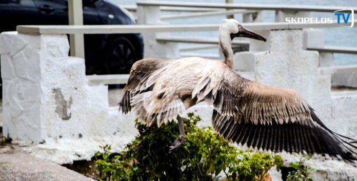 Pelican 4 Skopelos TV