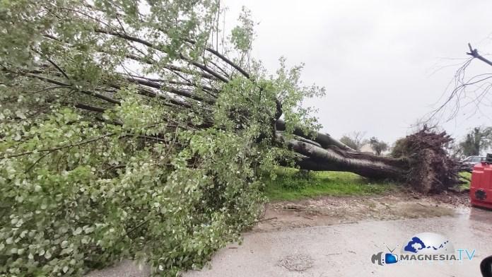 δέντρου Νέο Κλήμα Σκοπέλου (1)