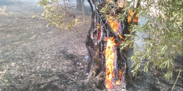 Κάηκαν ελαιόδενδρα και αποθήκη από πυρκαγιά στο Κρόκιο