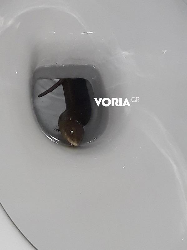 Σήκωσε το καπάκι της τουαλέτας και είδε τυφλίτη!