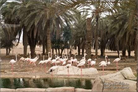 Pelikany iantylopy najednym wybiegu