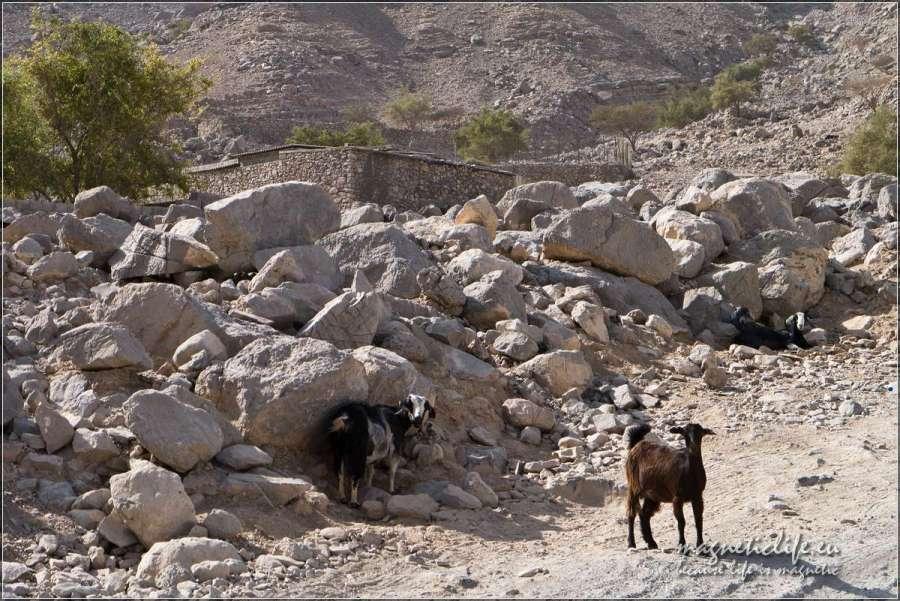 Zagroda kóz