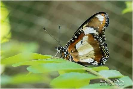 Zanzibar Butterfly Centre. Motyl na liściu